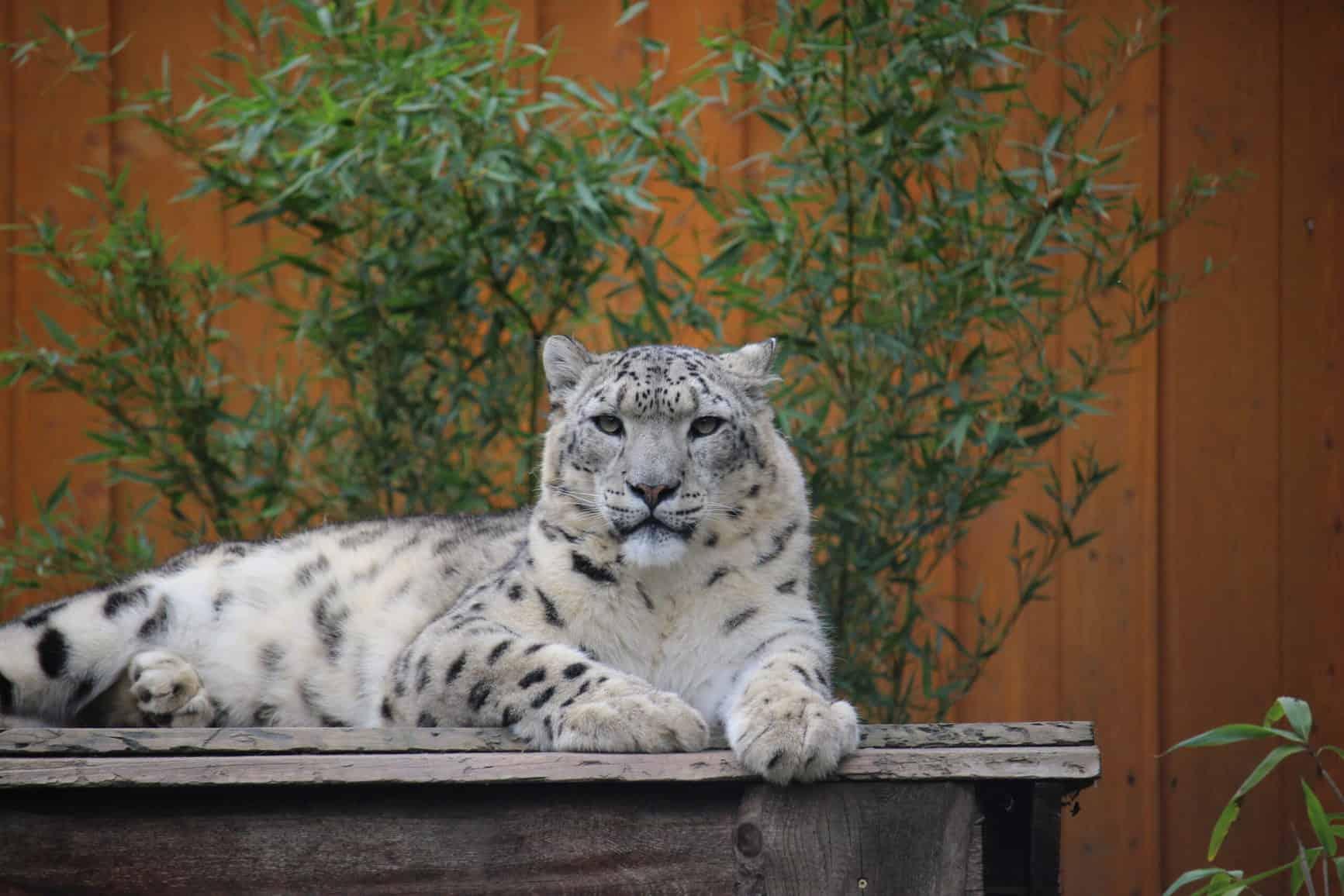 Schneeleopard im Artenschutzzentrum Grasleben