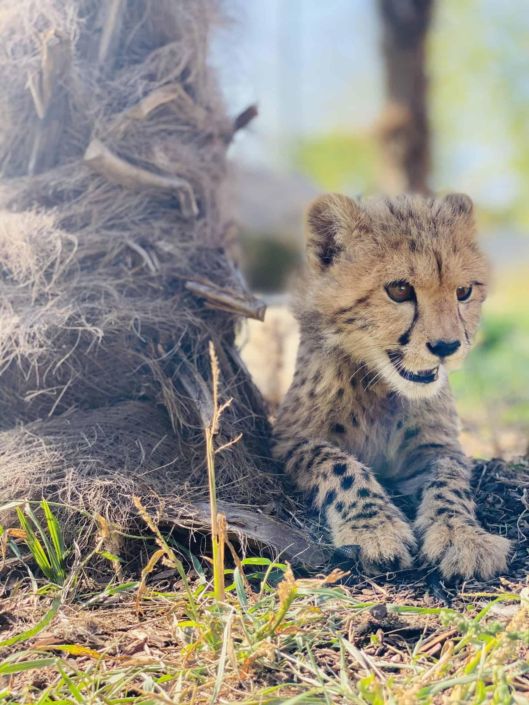 Gepardenbaby im Artenschutzzentrum Grasleben