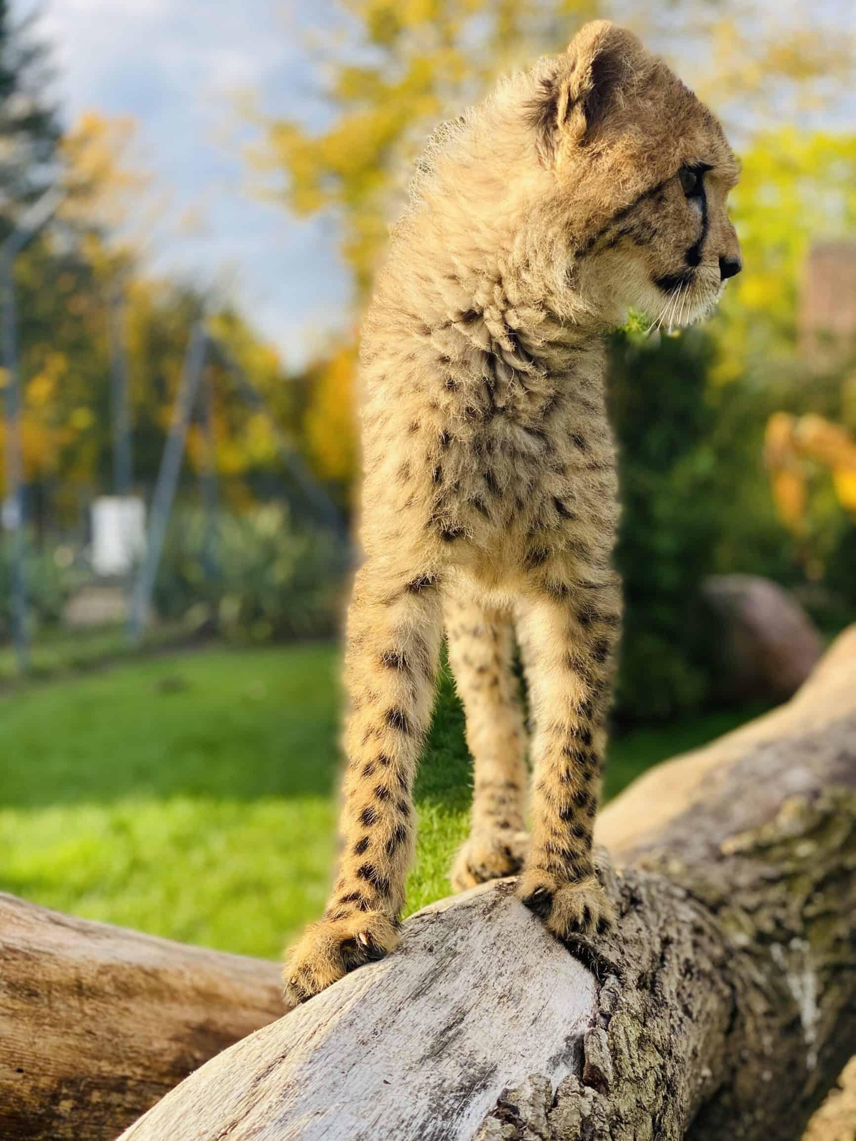Gepardenjunges im Artenschutzzentrum Grasleben